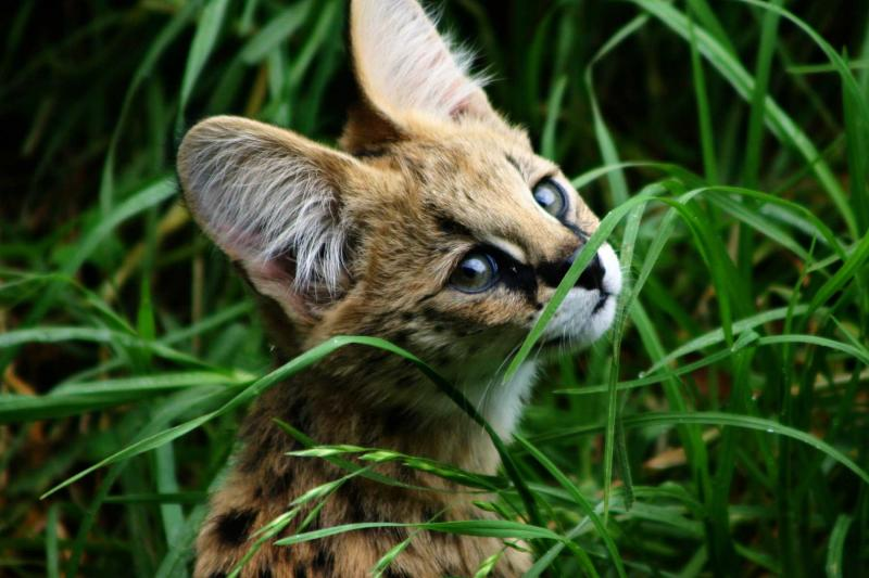 "A Savannah Cat ""cub"" in the grass"